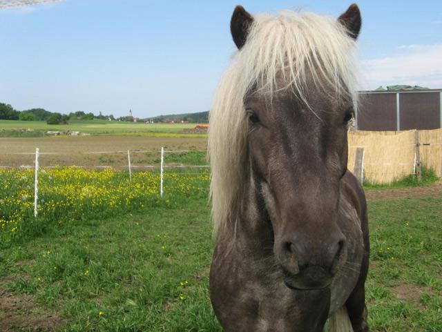 Conamara-Pony